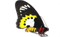 Ornithoptera Paradisea Arfakensis