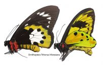 Ornithoptera Tithonus Misresiana