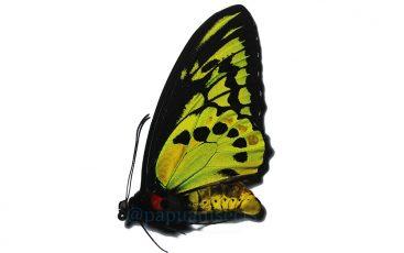 Ornithoptera Akakeae