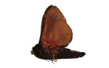 Oxycanus sp