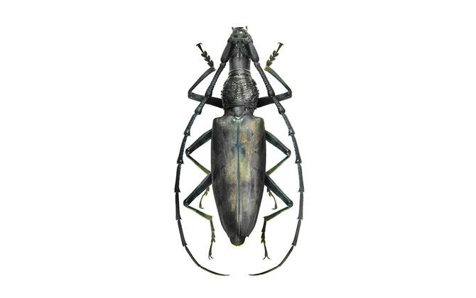 Hoplocerambyx Severus