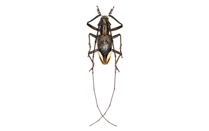 Pelargoderus Rubropunctatus