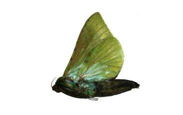 Aenetus Eugyna