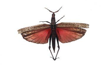 Pyrgomorphidae sp