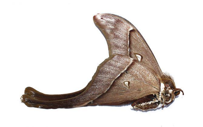 Coscinocera Hercules