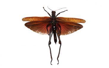 Valanga Nigricornis