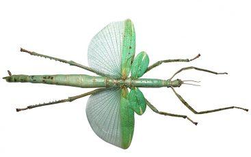 Eurycnema Versirubra