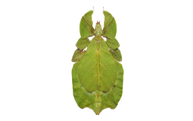 phyllium-bioculatum