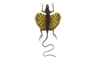 Draco haematopogon