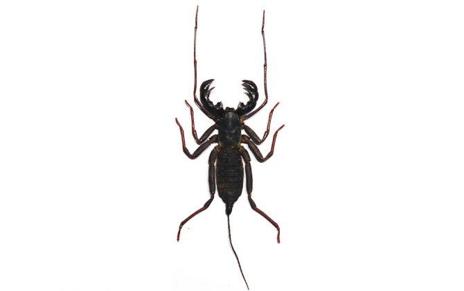 Stygophrynus